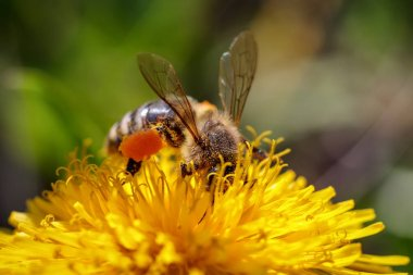 Bee on a yellow dandelion  flower collecting pollen and gatherin