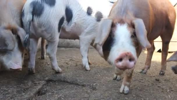 Vepřové zvířecí farmy pro prasata