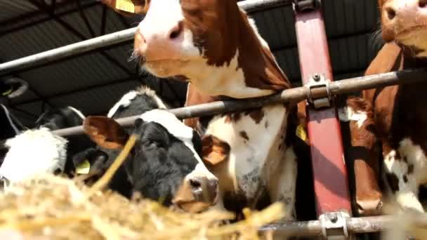 dobytka krávy ve farmě