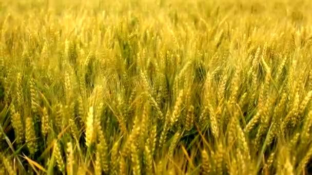 Búza gabona mezőgazdasági területen
