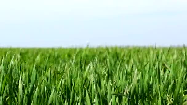 Wheat grain agriculture field