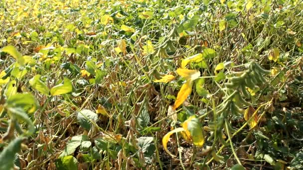 Soybean field in Vojvodina,Serbia