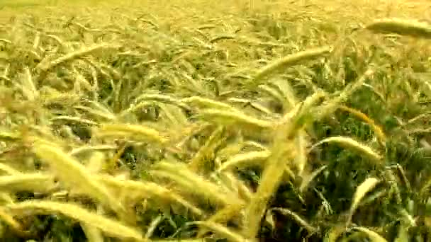 Wheat grain agriculture field