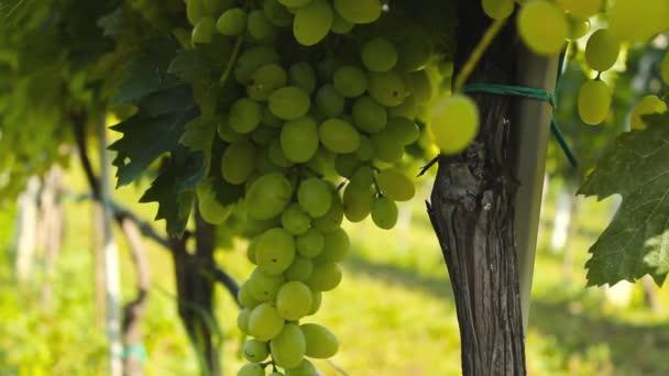 A szőlő a szőlő