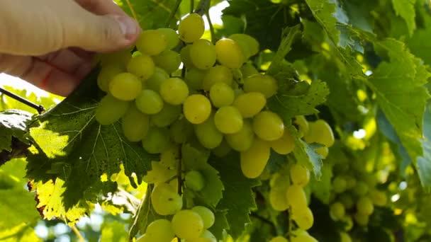Szőlő a szőlőben