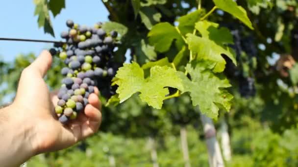 hrozny na vinici