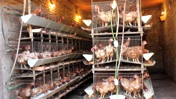 Chicken in poultry farm