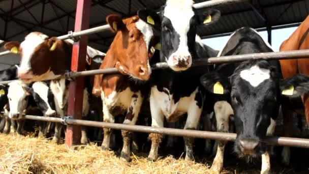 cattle cows in farm