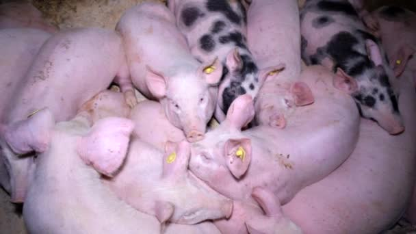 Schwein Schweinefleisch Animal Farm
