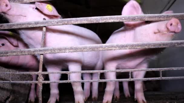 Pig Animal pork Farm