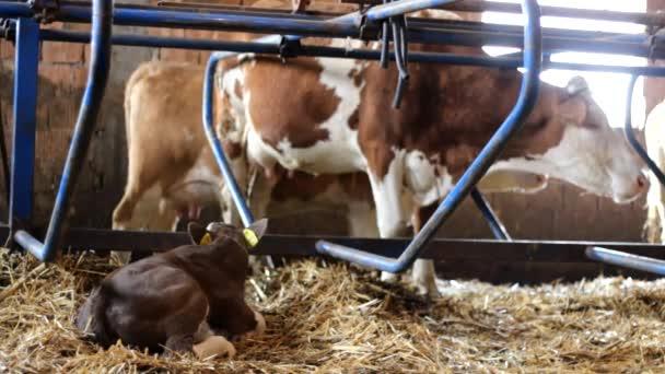 Dobytka krávy v stabilní farmě