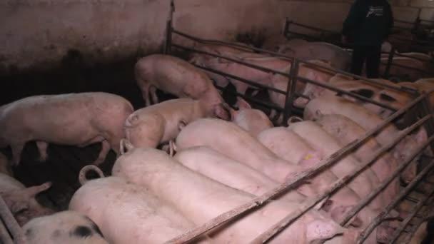 pig piglets swine in the farm