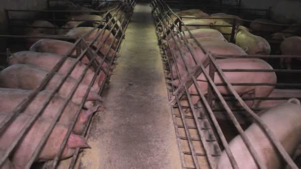 Disznó Malac sertés Farm