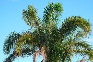 Australian Golden Cane Palm tree fronds