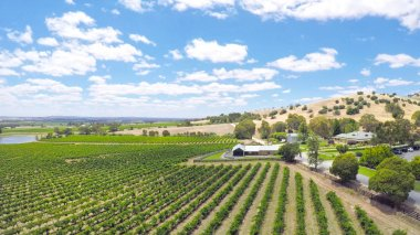 Drone aerial views of rows of grapevines and scenic landscape