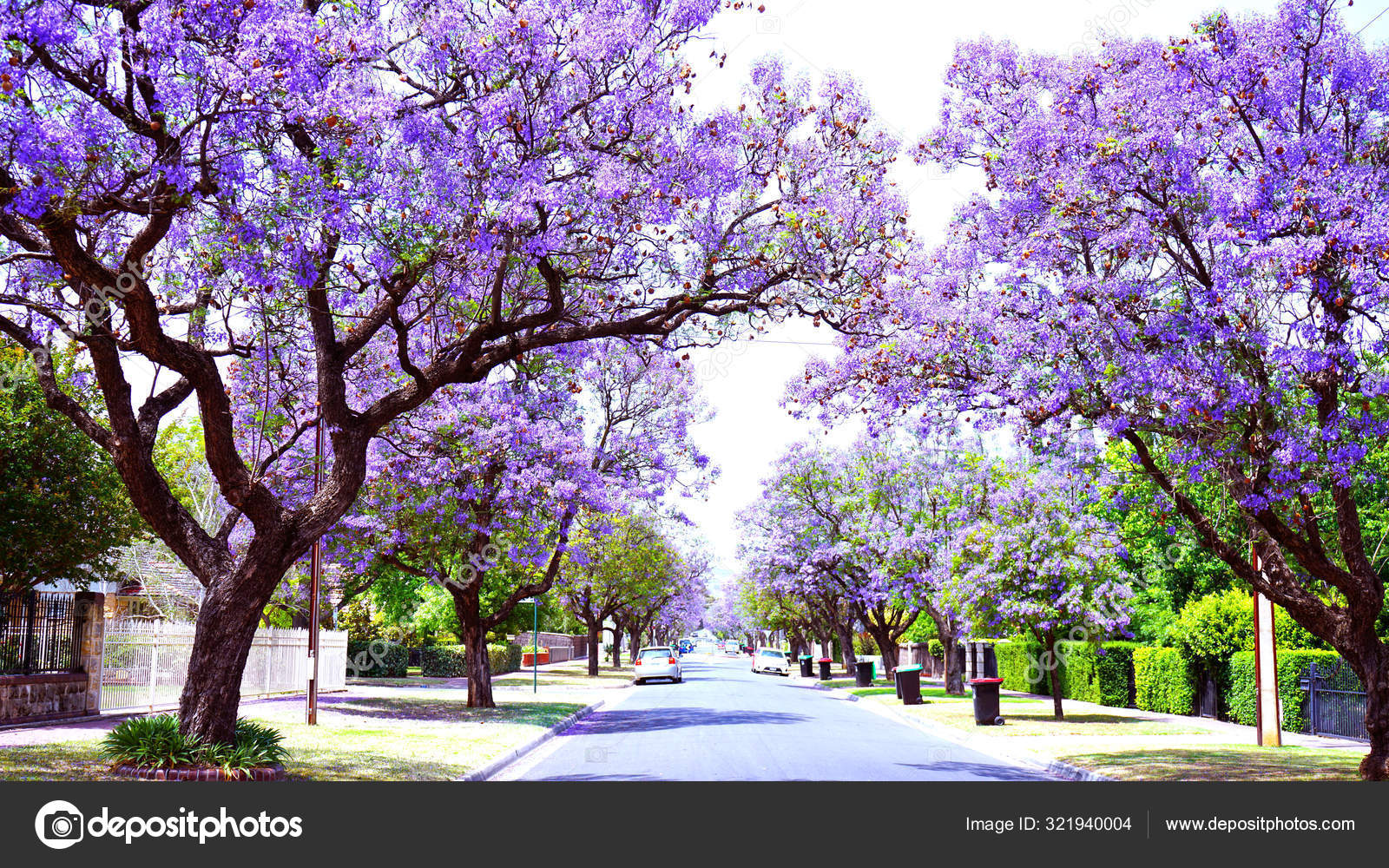 Beautiful Purple Flower Jacaranda Tree Lined Street In Full Bloom Stock Editorial Photo C Amarosy