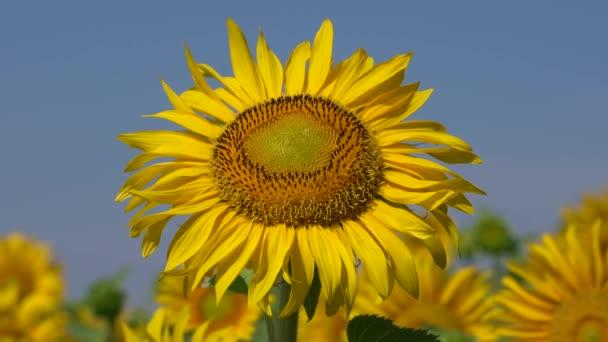 Slunečnice (Helianthus anuus), blízko květinové hlavy