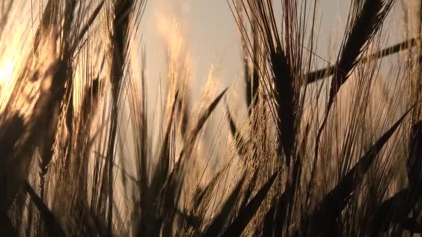 Búza fül a naplementében, Mezőgazdaság, Gabonafélék, Gabonafélék, Szüret
