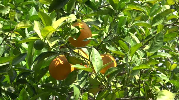 4K Orange Fruits in Orchard, Fresh Juicy Tropical Citrus Fruits Branches Tree