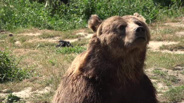 4K Brown Bear Portrait in Forest, Face of Wild Animal Looking Sniffing in Nature