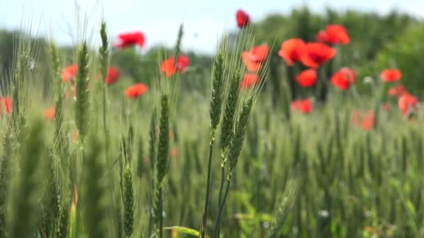 4K Poppy Field Red Flowers Agriculture Wheat Harvest Rye View Cereal Summer Land