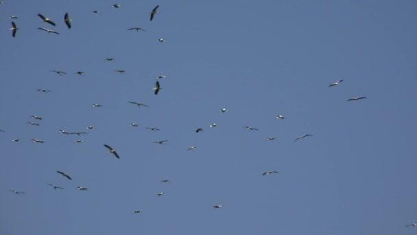 Storch fliegt, Schar weißer Vögel am blauen Himmel, Schar europäischer Vögel im Flug