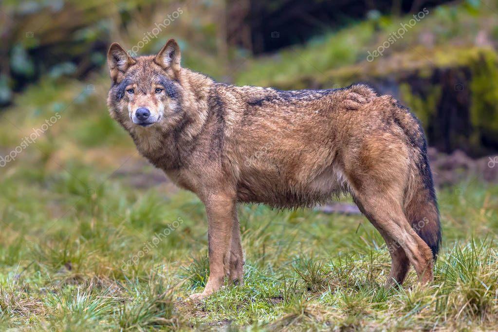 Волчий зрительный контакт в лесу — Стоковое фото ...