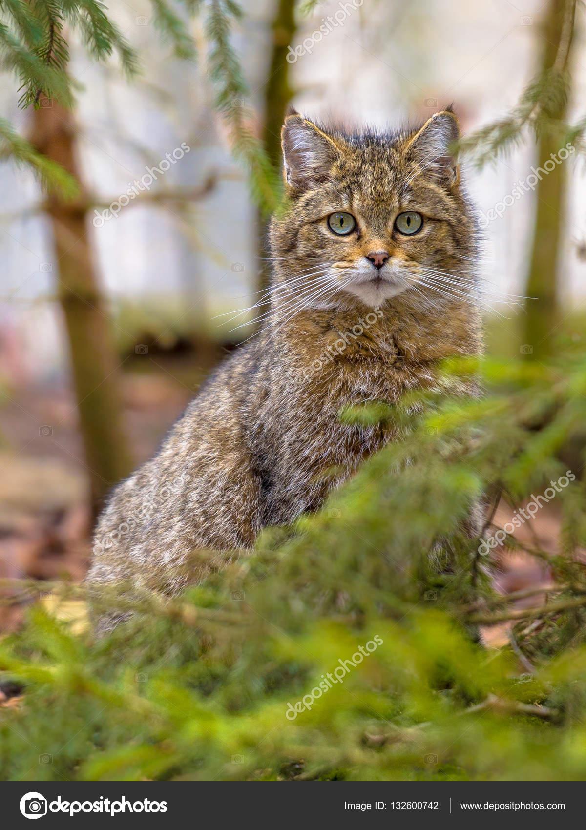 Ritratto Sveglio Del Gatto Selvatico Europeo Foto Stock