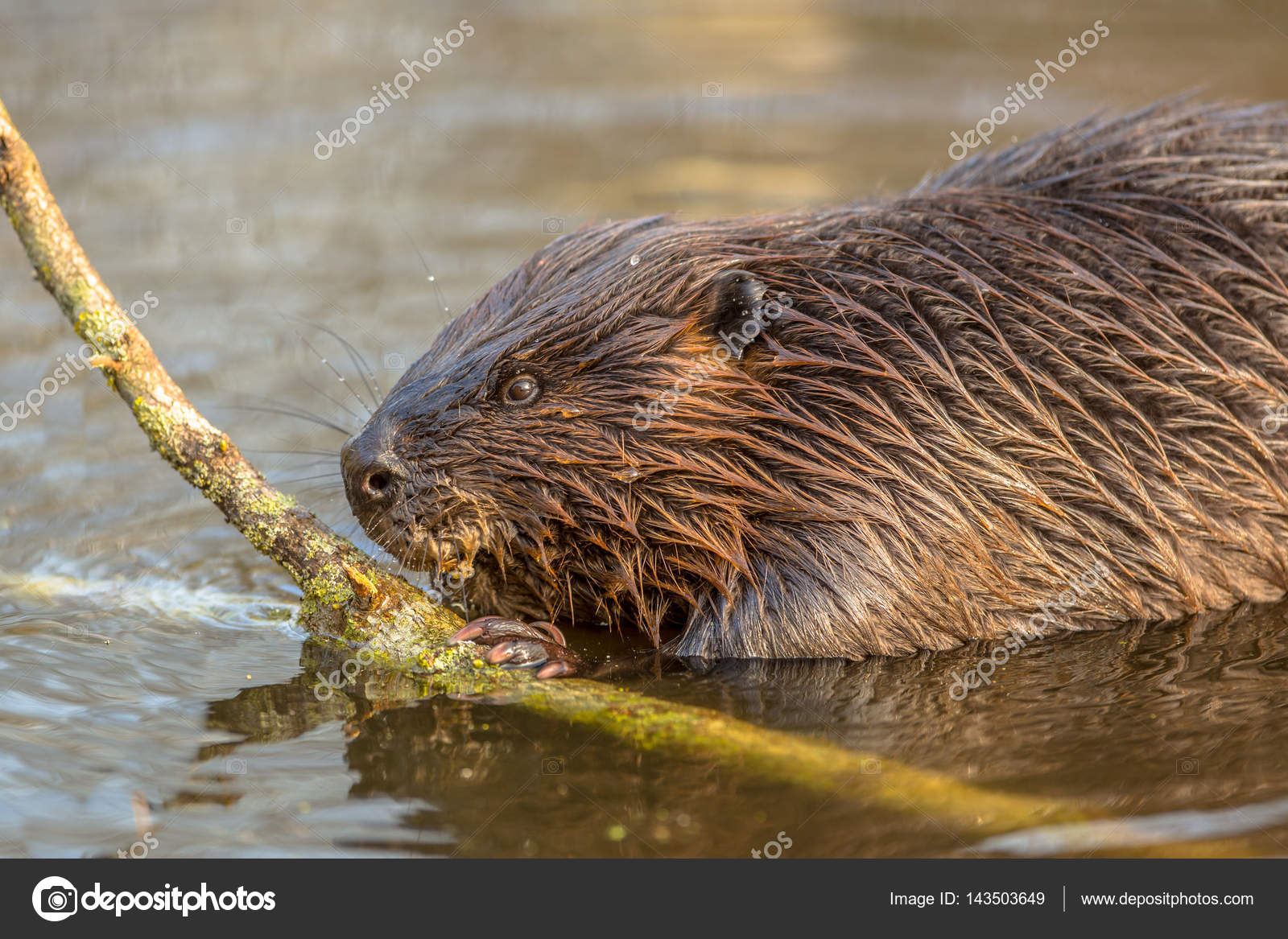 eurasian beaver in water \u2014 stock photo © creativenature 143503649 Beaver in Pushing Water eurasian beaver in water \u2014 stock photo