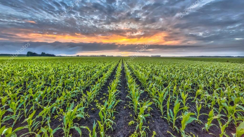 Corn field under setting sun — Stock Photo ...