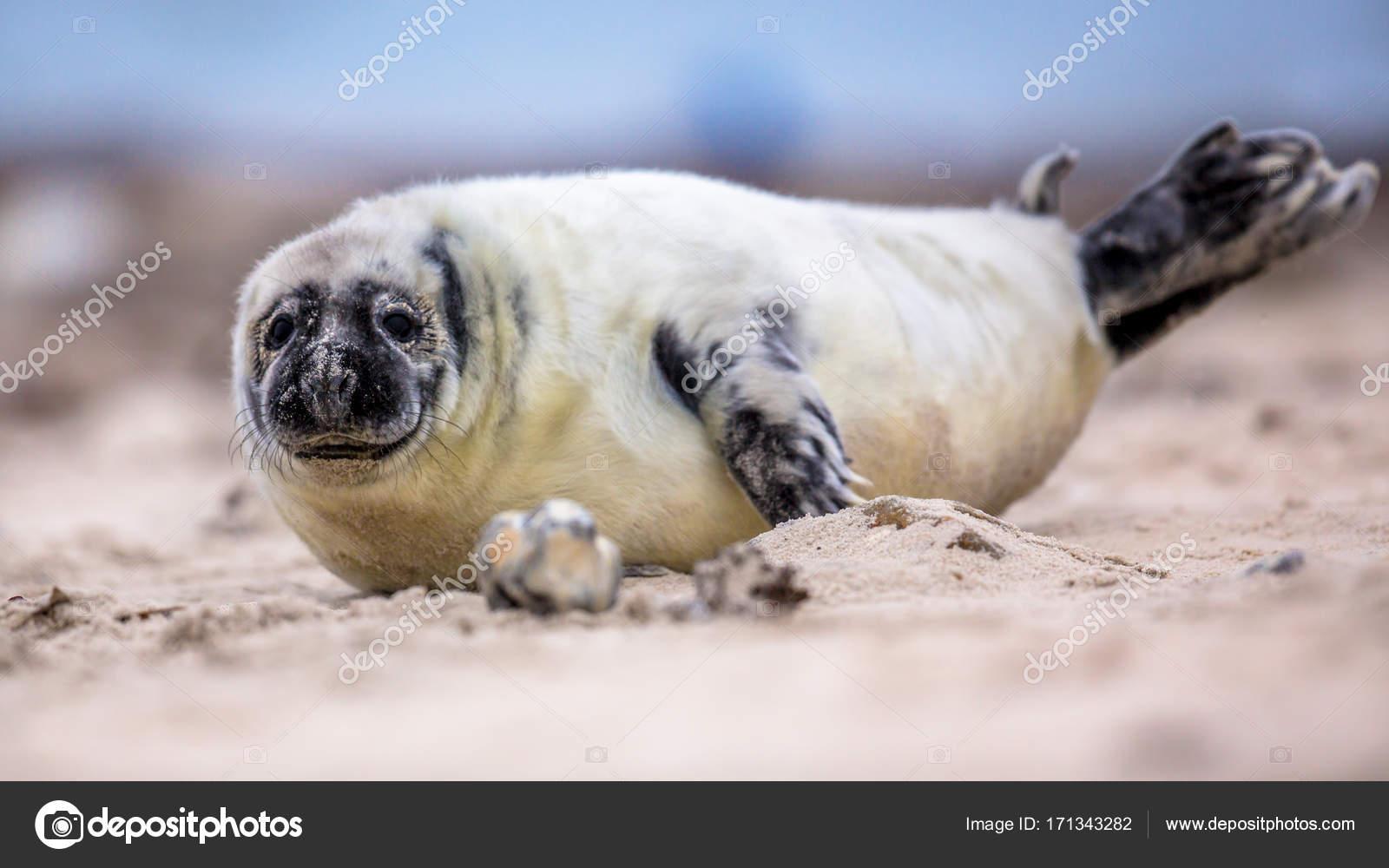 Baby Phoque bébé phoque commun sur la plage — photographie creativenature