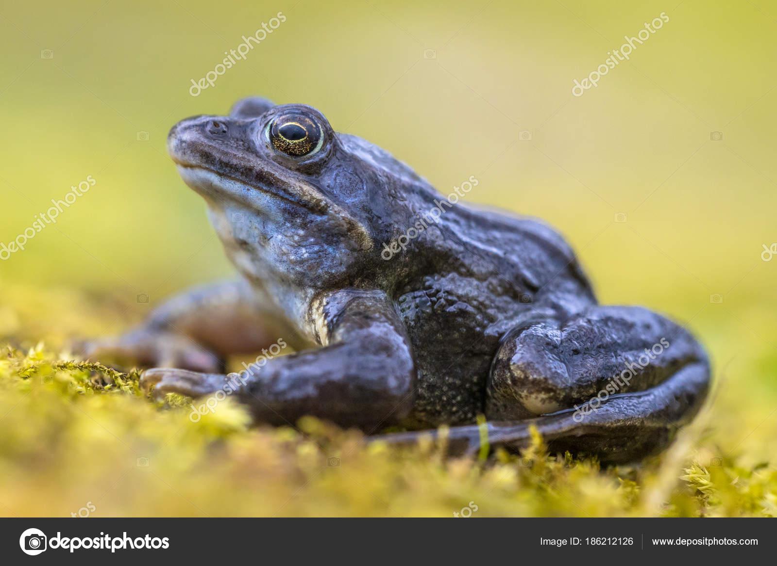Blaue Moor Frosch Seitenansicht auf hellen grünen Hintergrund ...