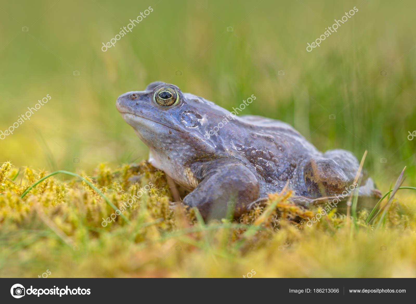 Seitenansicht des blauen Moor-Frosch — Stockfoto © CreativeNature ...