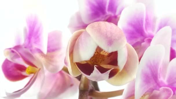 květ orchideje je kvetoucí timelapse na bílém pozadí