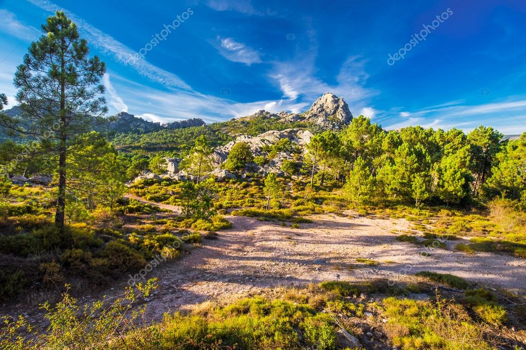 Pine trees in Corsica island