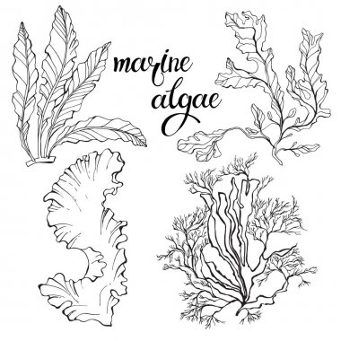 hand-drawn Marine algae.