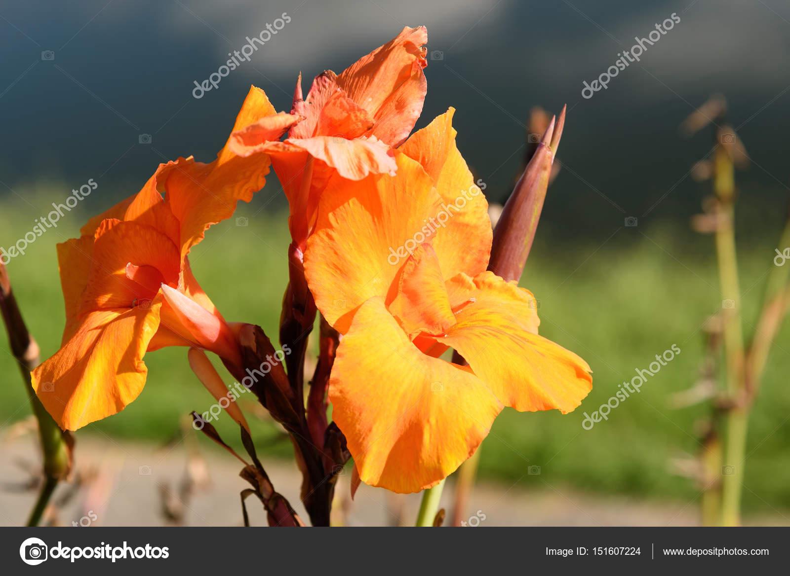 Fleur Canna Orange Photographie Elenaodareeva C 151607224