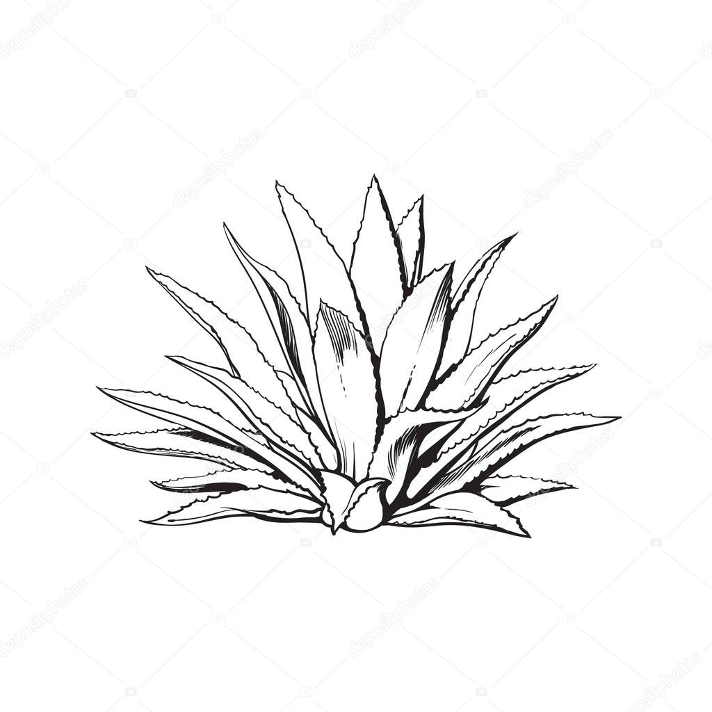 Hand drawn blue agave, main tequila ingredient