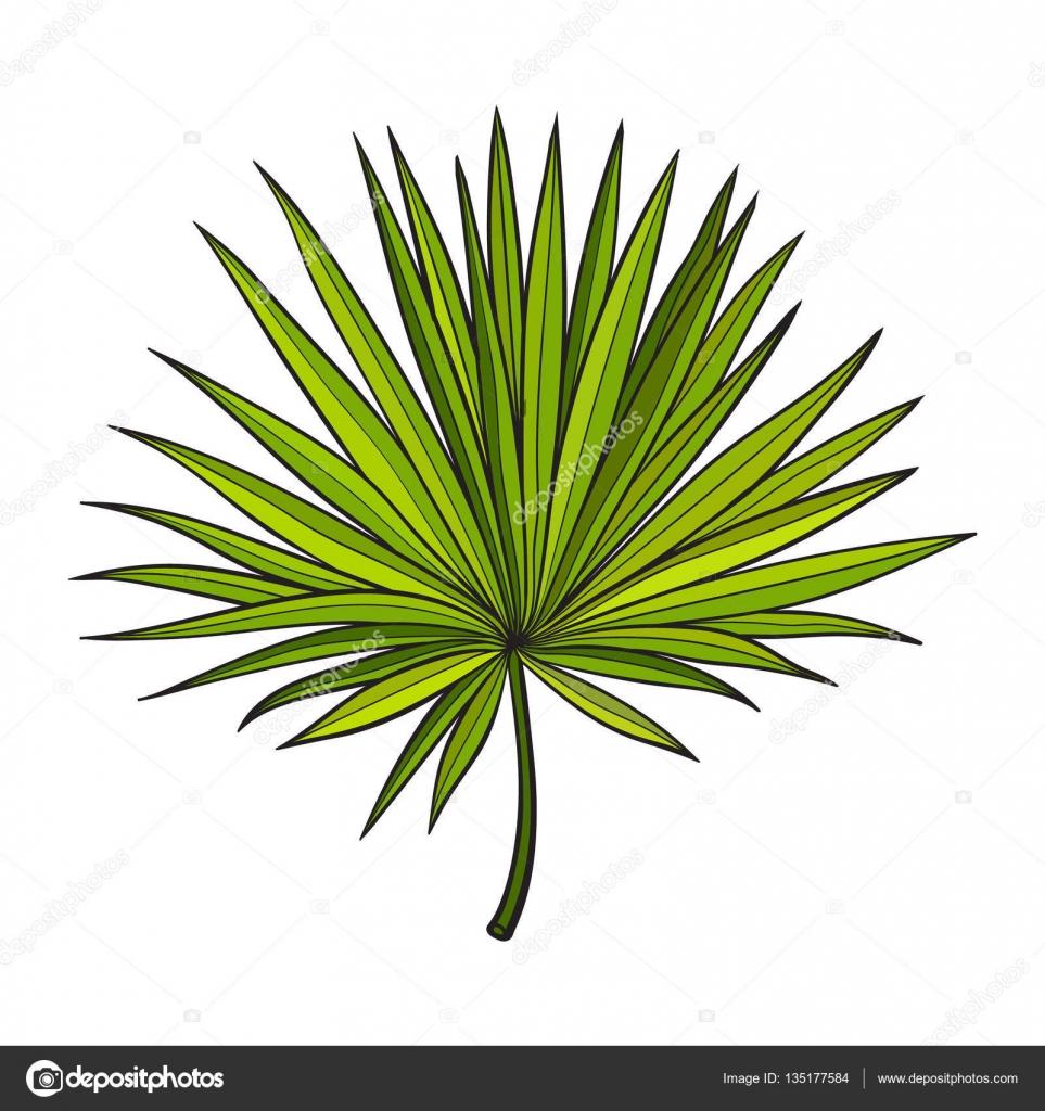 ventilateur en forme de feuille de palmier nain arbre croquis style vector illustration image. Black Bedroom Furniture Sets. Home Design Ideas