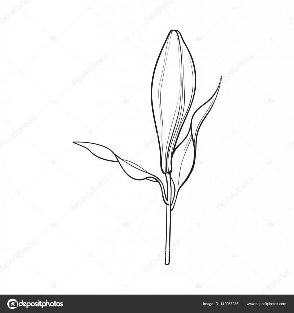 Bourgeon De Fleur De Lys Blanc Avec Tige Et Les Feuilles Vue
