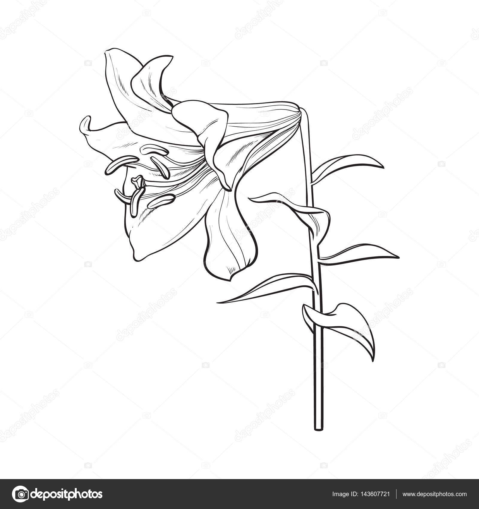 Fleur De Lys Blanc Unique Avec La Tige Et Les Feuilles Vue Latérale