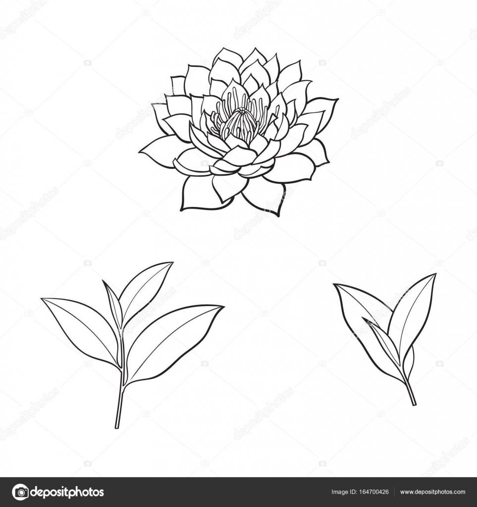 Vector Sketch Lotus Flower Tea Leaves Set Stock Vector