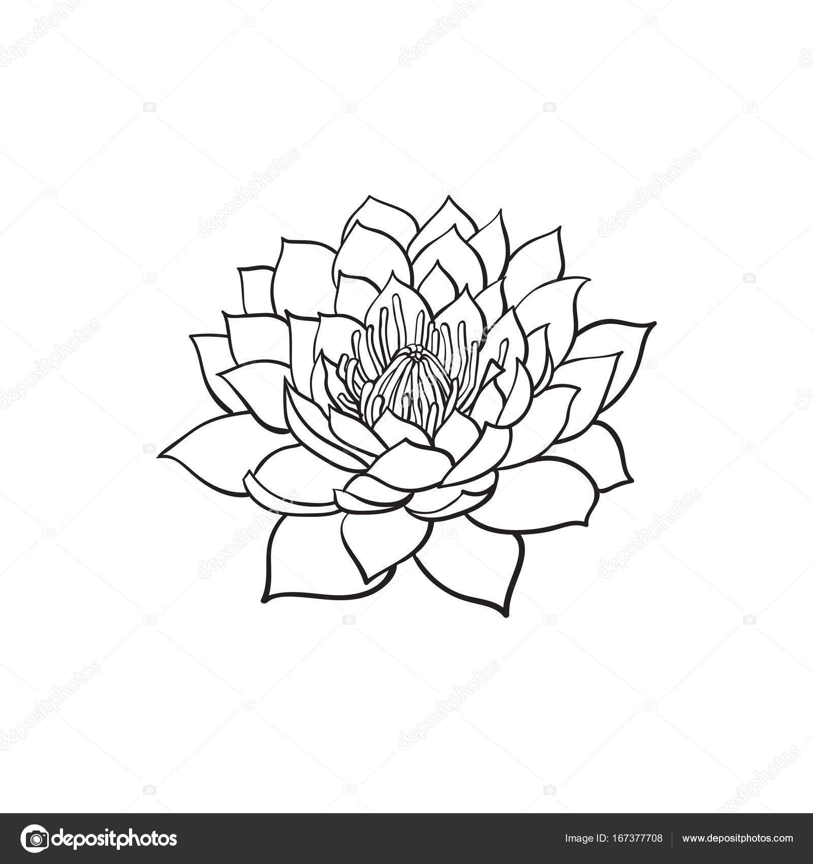 Vector sketch lotus flower blossom blooming stock vector vector sketch lotus flower blossom blooming stock vector mightylinksfo