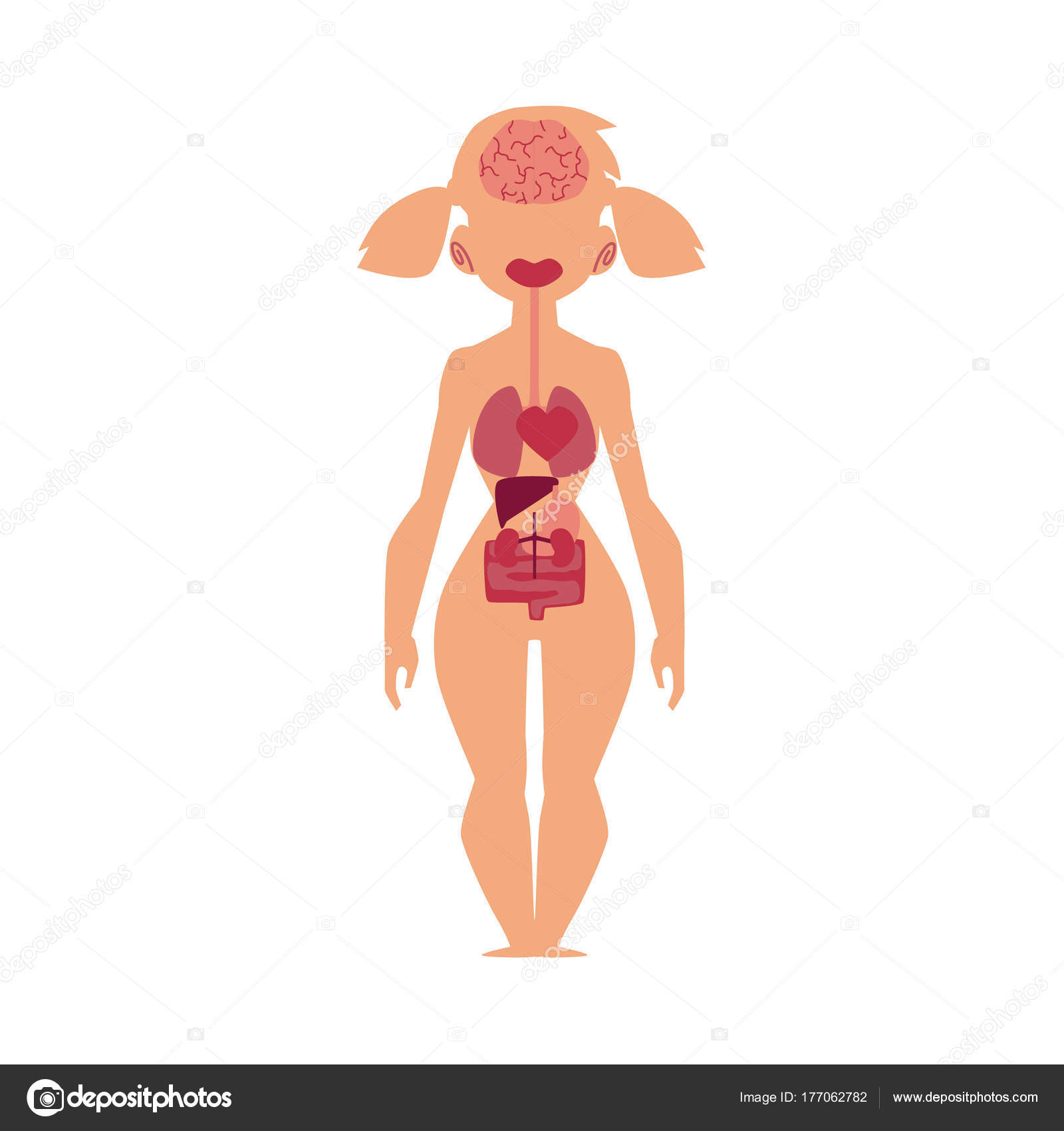 Picture Body Diagram Female Anatomy Chart Human Internal