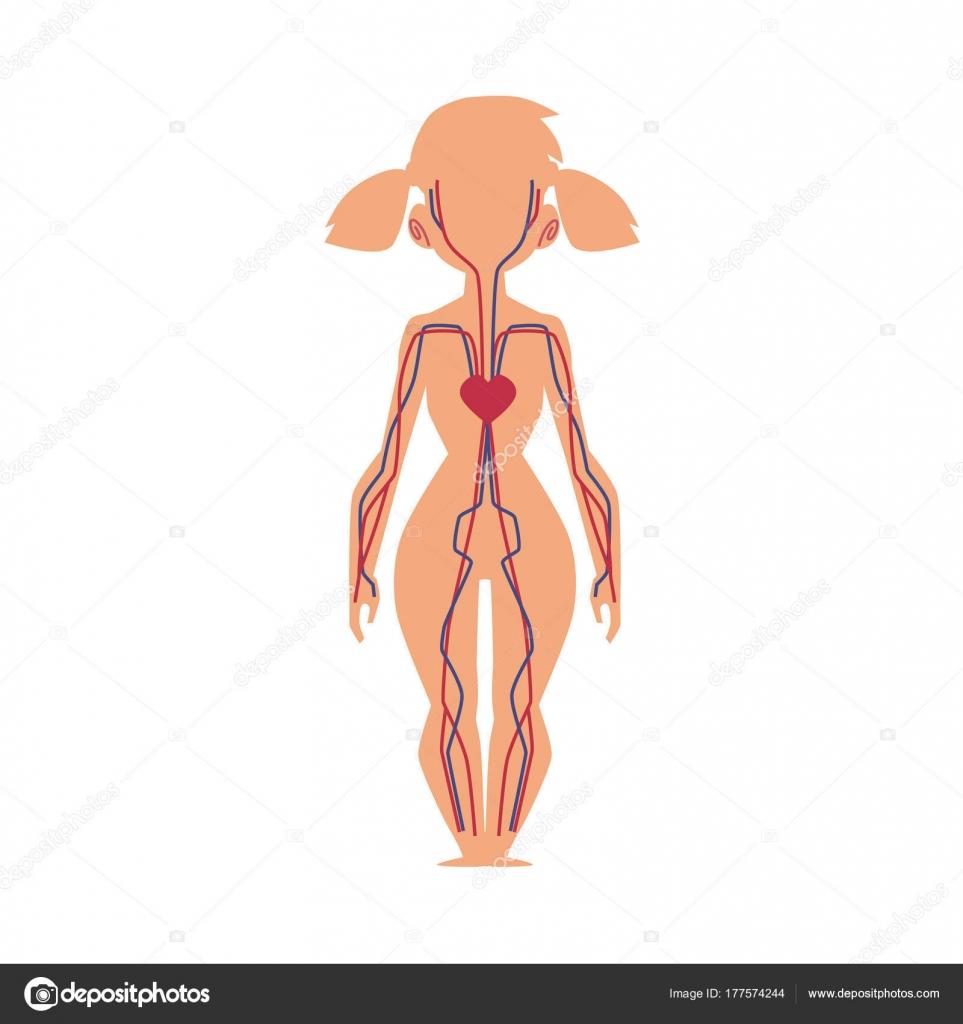 Carta de la anatomía humana del sistema de sangre, cuerpo de la ...