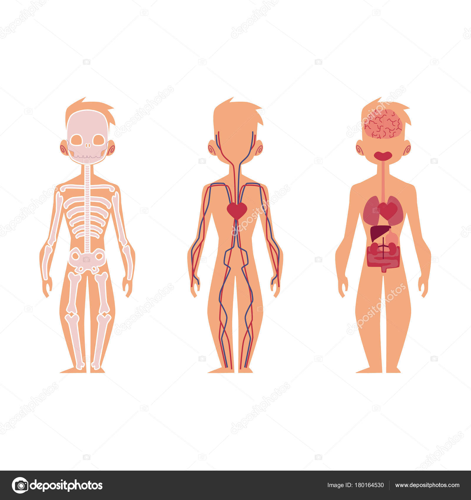 Vector People Internal Organs Anatomy Structure Stock Vector