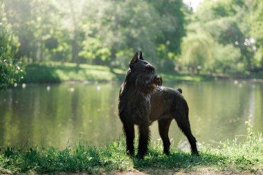 Dog Giant Schnauzer