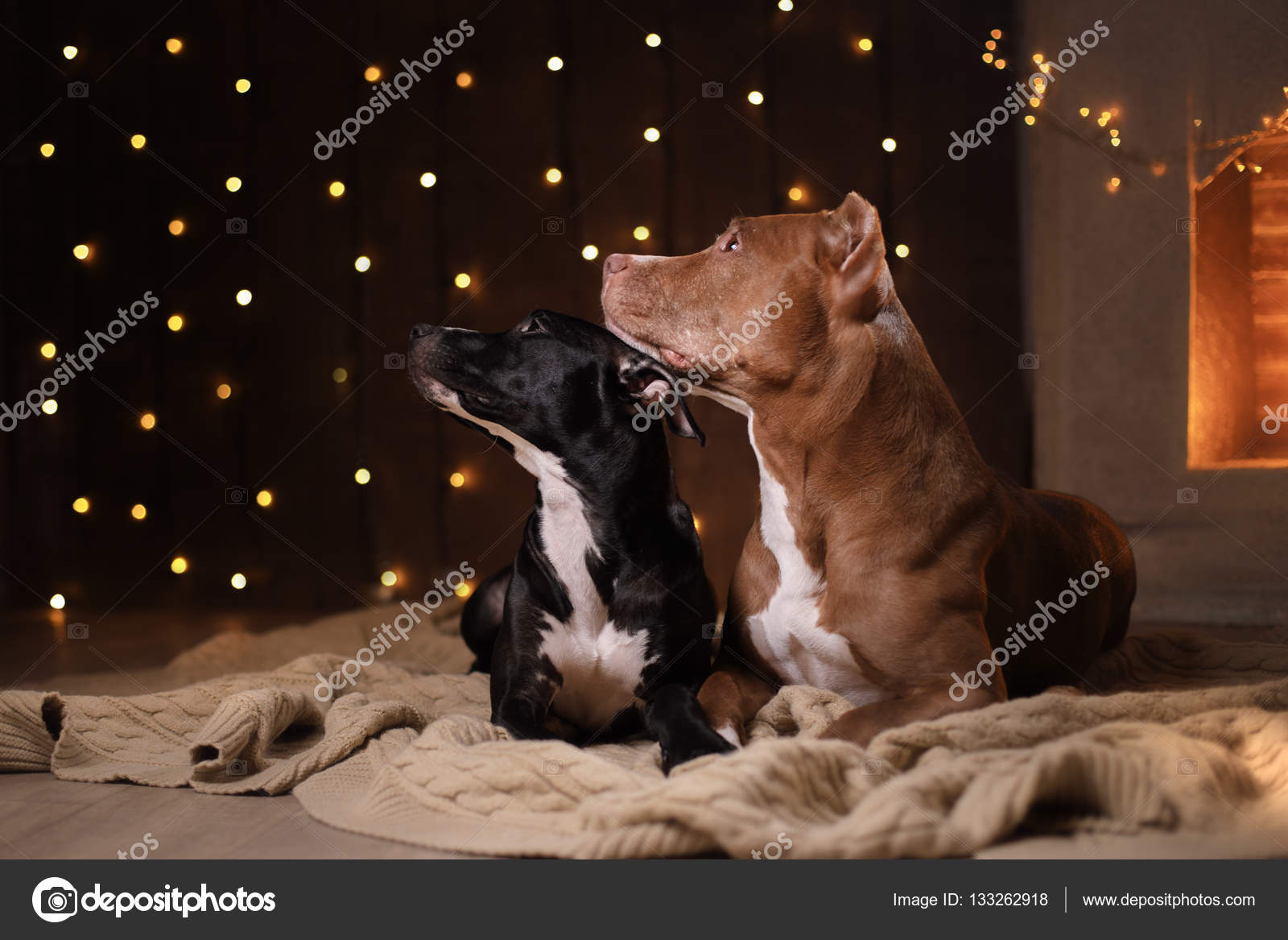 happy new year christmas pet in the room pit bull dog holidays