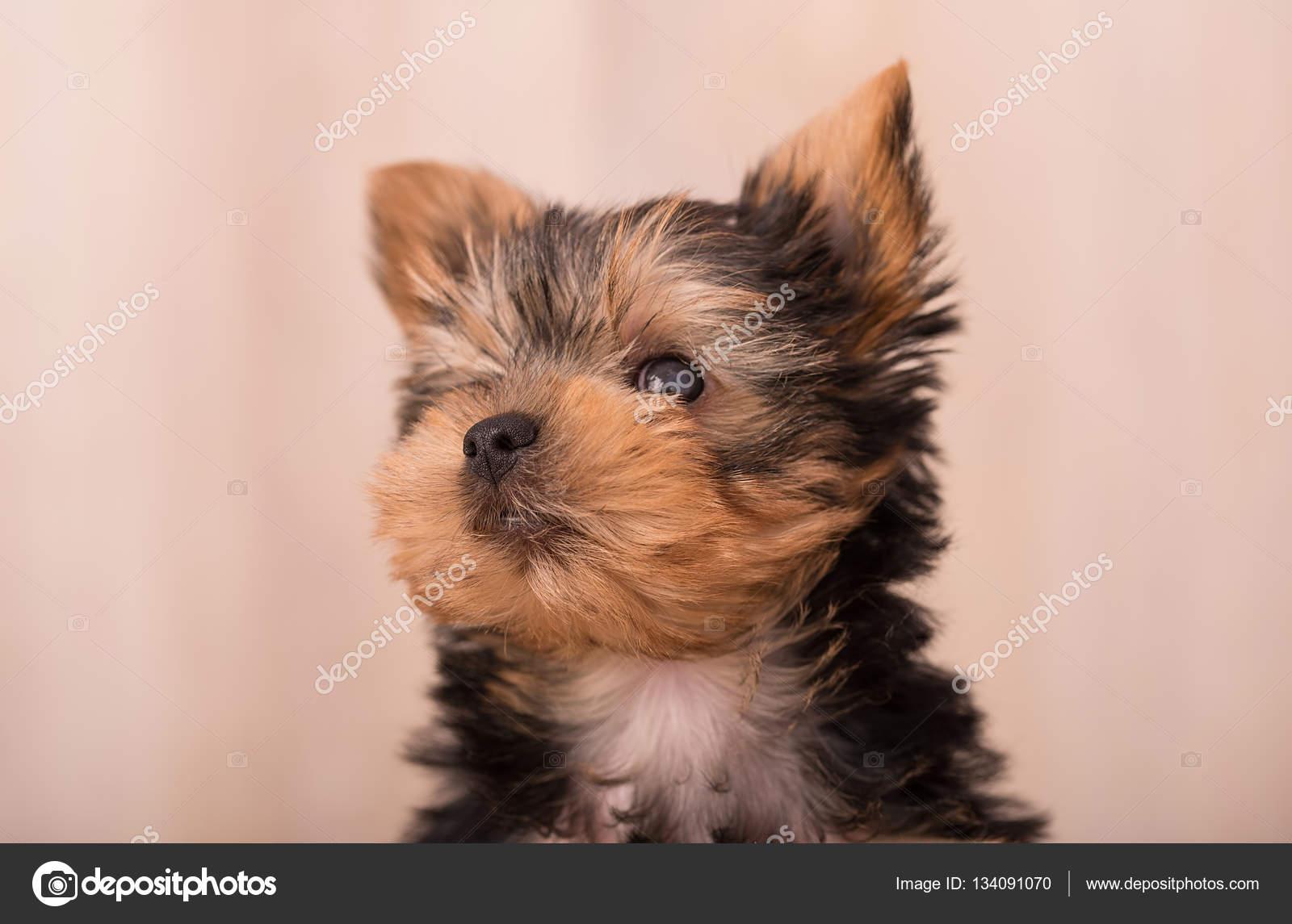Gyonyoru Kolyok Yorkshire Terrier Pozol Stock Foto C Sssss1gmel