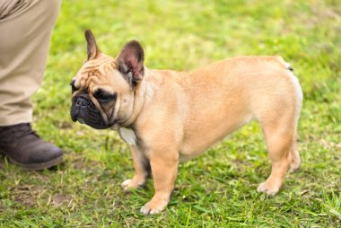 French bulldog standing in the park